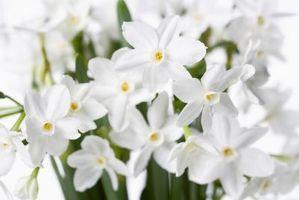 Cómo cuidar a una flor de narciso