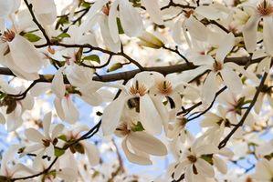 Cómo identificar un árbol en flor blanca