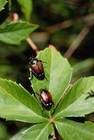 Errores de escarabajos que se encuentran en los árboles