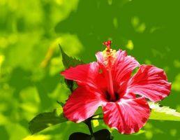 Cómo aumentar Hibiscus