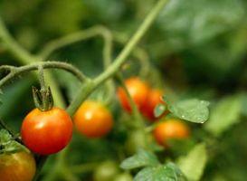 El azúcar es un buen fertilizante para las plantas de tomate?