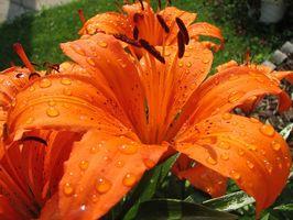 Partes de una flor del lirio de día