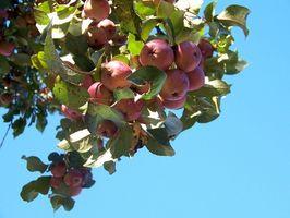 A principios de otoño variedades de manzana