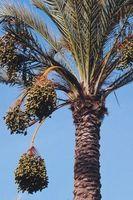 Los árboles de palma con penachos