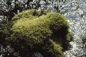 El uso de musgo decorativo con las plantas
