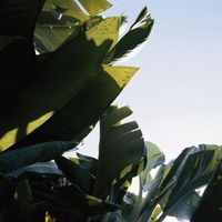 ¿Cómo hacer crecer plantas de banano basjoo
