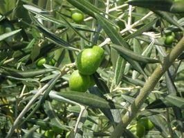 Cómo mantener a un árbol estéril de oliva