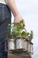 Plantas resistentes al aire libre Evergreen Pot