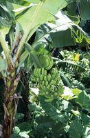 Los árboles de plátanos que no dan fruto