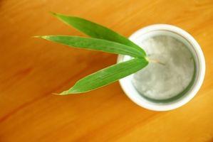 Lo que hay que alimentar a una planta de bambú cubierta