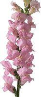 Datos importantes sobre la flor Boca de dragón