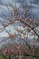 Aceite en spray para los árboles frutales