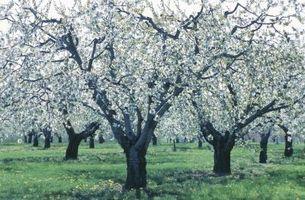 Los efectos de heladas en los árboles de Apple
