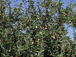 El crecimiento anual de los manzanos