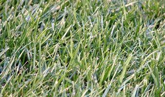 Problemas con la hierba de San Agustín en la Florida