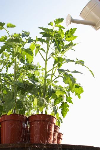 Horticultura: Tomates con las hojas amarillas