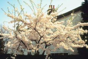 Sustancia pegajosa en la rama de un árbol de cerezo que llora Doble