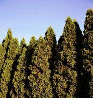 Juniper árboles de hoja perenne