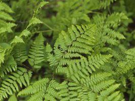¿Cuáles son las plantas vasculares sin semilla?