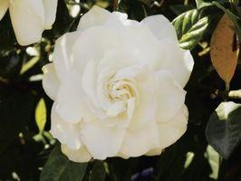 Cuando podar los arbustos en flor en Carolina del Sur