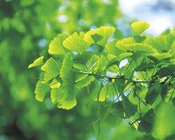 Cómo plantar un árbol Gingko