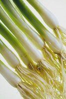 Qué es un sistema de raíces fibrosas?