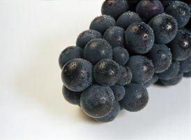 Tiempo de cosecha de uvas Concord