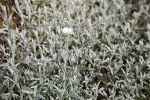 Las plantas con flores con follaje gris