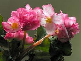 Cómo crecer sin escalas Begonias