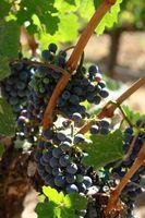 ¿Cómo puedo podar una vid de uva en Carolina del Norte?