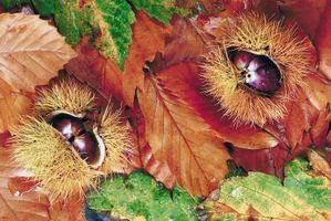 Frutos secos que crecen en los árboles cubiertos de espinas
