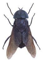 Formas para repeler moscas negras