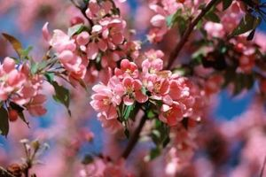 Foro de floración de los cerezos vuelta en el otoño?