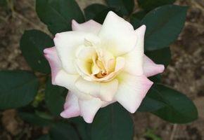 Cuál Es El Significado De Rosas Blancas Con Puntas De Color Rojo