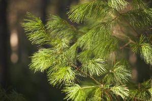 Cómo en caso contrario puede que los árboles de pino de la planta?