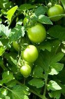 ¿Cuánta agua para una planta de tomate?