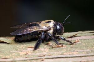 El tratamiento para abejas carpinteras