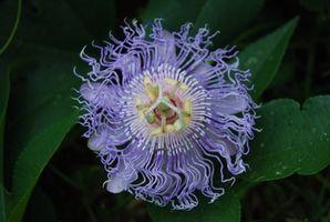Flor de la pasión o Maypop