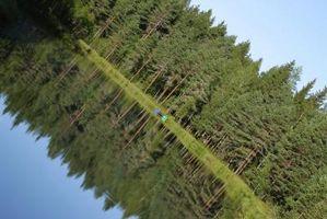 Las variedades de árbol de pino de la Florida