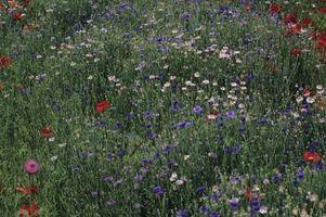 Lista de semillas de flores silvestres para la zona 8