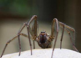Cómo matar a las arañas con bicarbonato de sodio