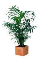 Cómo regar las plantas de palma con lejía