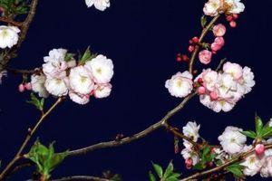¿Cuáles son los usos de un árbol floreciente de Crabapple?