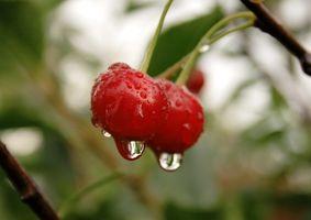 ¿Cómo puedo hacer crecer los cerezos De Piedras?