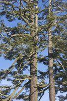 ¿Qué árboles de hoja perenne crece bien a grandes altitudes?