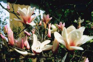 Los parásitos de la magnolia