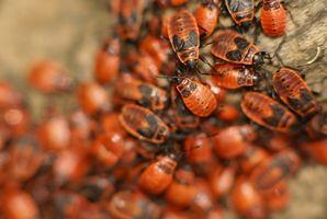 Cómo matar a los insectos de cama con aceite de Neem