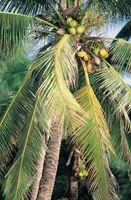 Diferencia entre un coco y árbol de Neem