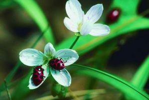 ¿Qué flores atraen a Lady Bugs?