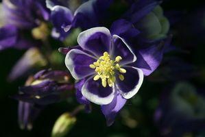 ¿Qué tipos de insectos Destruir la flor de Columbine?
